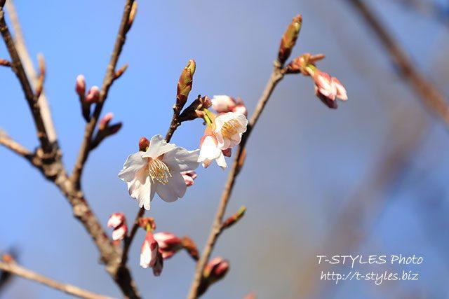 桜が待ち遠しい